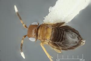 Neodusmetia sangwani