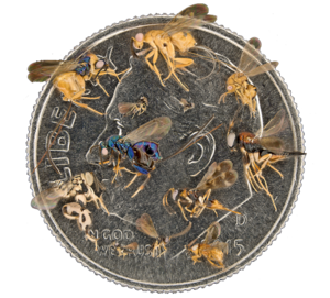 Image for Learn about the biodiversity of the bees, wasps, and ants... and chalcids