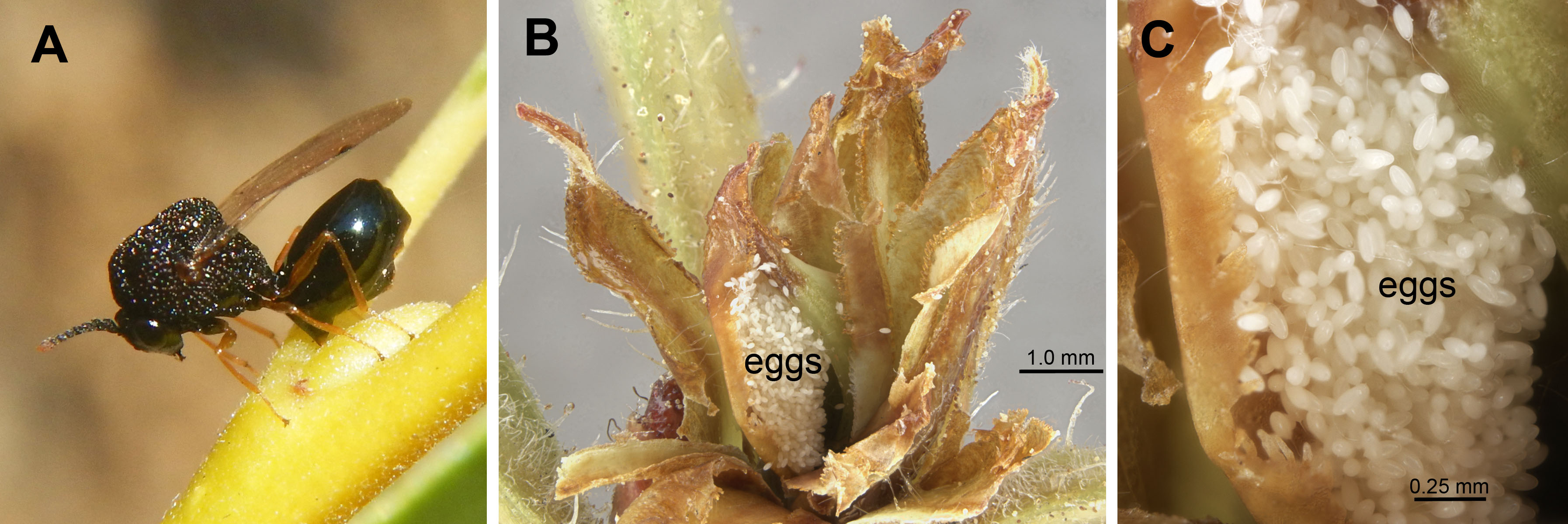 Pseudochalcura gibbosa: A, ovipositing into Salix; B&C, eggs in Rhododendron bud