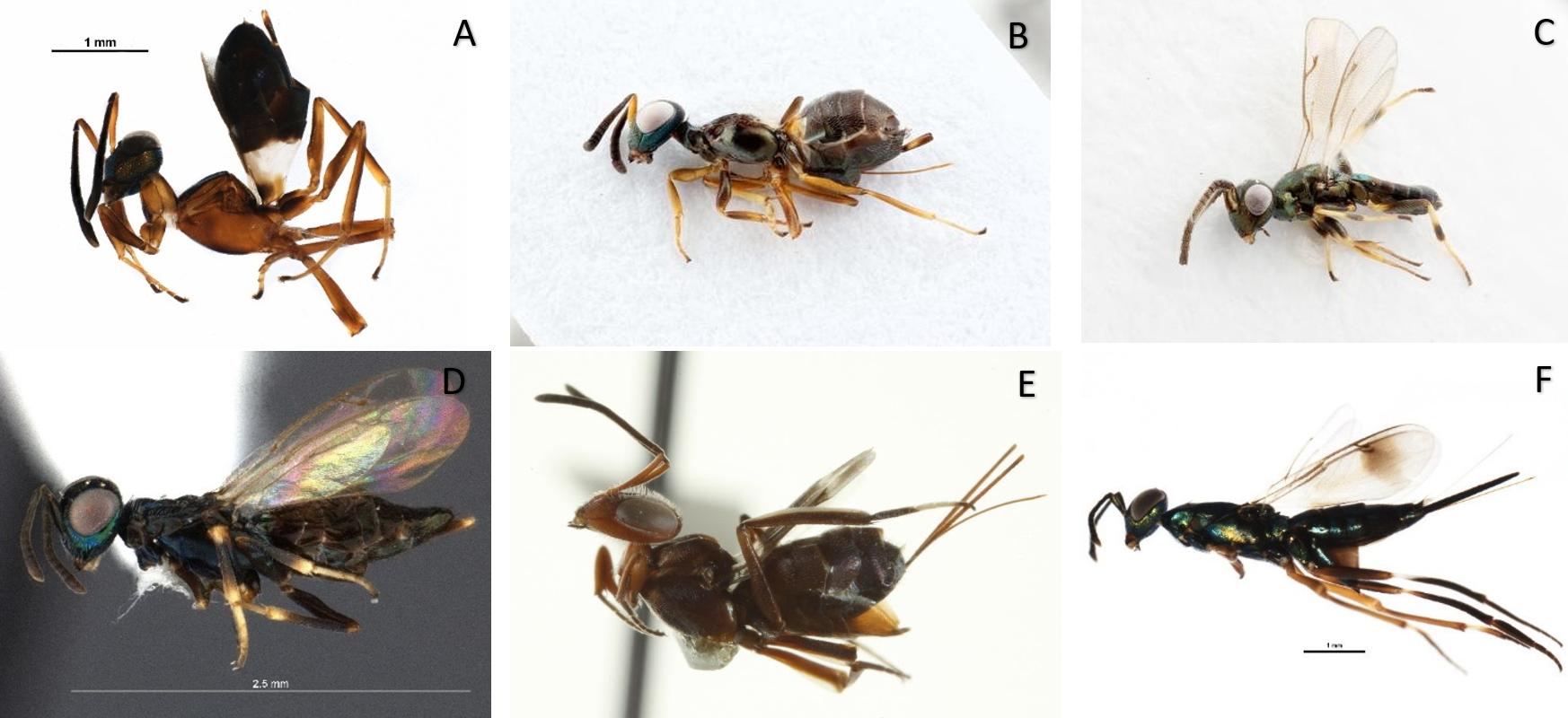 (A)_Anastatus_, (B) _Eupelmus_   _vesicularis_ female, (C) _Eupelmus_  _vesicularis_ male, (D) _Brasema_, (E) _Arachnophaga_, (F) _Metapelma_ _spectabile_